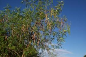 Mieux purifier l'eau grâce aux graines des «arbres Moringa » …